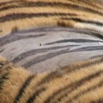 Did You Know that Skin of a Tiger is Unique as Human  Thumb Print You will not Find 2nd Tigers in the World With Identical Stripes