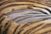 tiger identical stripes