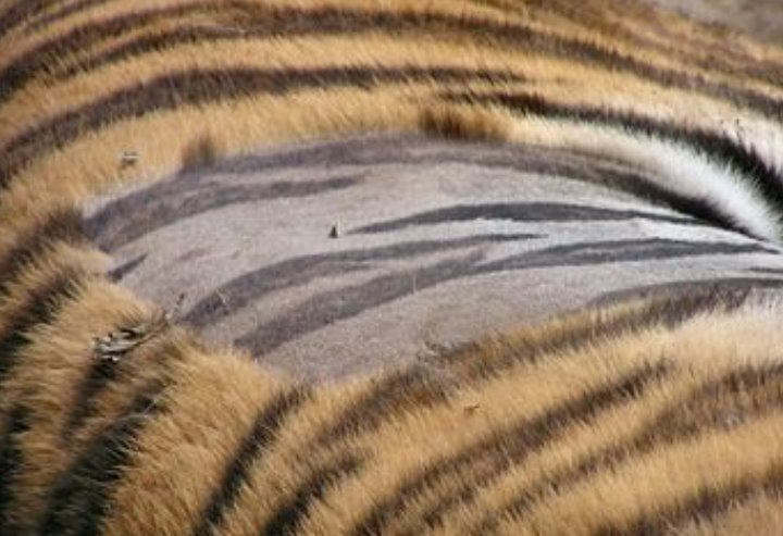 tiger identical stripes