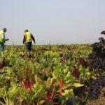 in Sindh,Vegetables Grown  with Industrial, Sewerage Waste Water