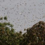 Pakistan Braces for Locust Invasion Amid Coronavirus Pandemic