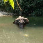 Shocking: Another Elephant Suspected to have Died After Eating Cracker-laden Fruit in Kerala