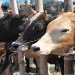 Punjab Govt Launches App for Online Purchase of Sacrificial Animals