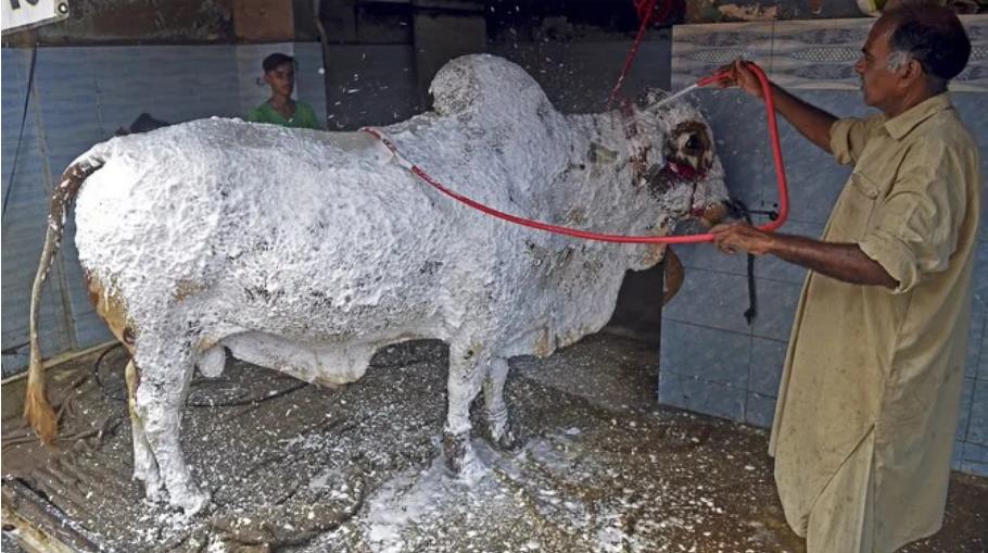 cattle wash