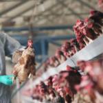 Is India's Bird Flu More Deadly Amid Coronavirus Pandemic?